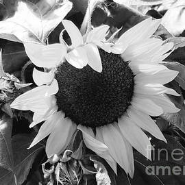 Jane Powell - Sunflowers in black and white