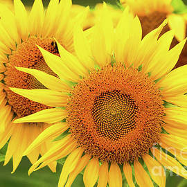 Regina Geoghan - Sunflowers-Summer Gold