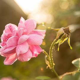 Sunkissed Rose by Teresa Blanton