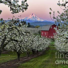 Pear Orchard in Bloom with Barn near Mount Hood by Tom Schwabel