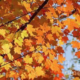 Sunlight In Maple Tree by Elena Elisseeva