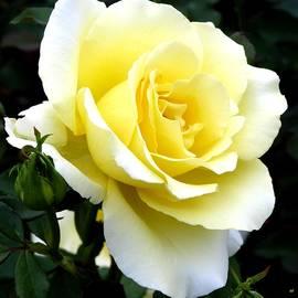 Will Borden - Sunny Cream Rose