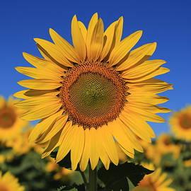 Lynn Hopwood - Sunny day sunflowers