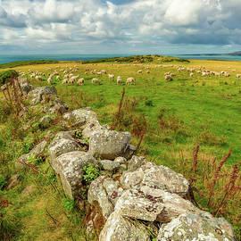 Sunny Meadow Sheep - Adrian Evans