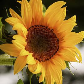 Jordan Blackstone - Sunny Sunflower