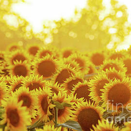Kevin Anderson - Sunny Sunflower Sunset