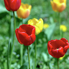 Baggieoldboy - Sunny Tulips