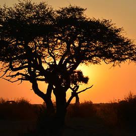 Sunset Acacia by Joe Bonita