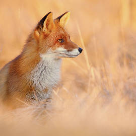 Roeselien Raimond - Sunset Series - Red Fox at Sunset