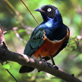 Gary Gingrich Galleries - Superb Starling-3284