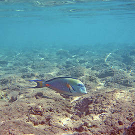 Surgeon Fish. Underwater World.