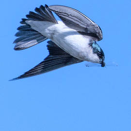 Swallow With Insect.... by Paul Vitko