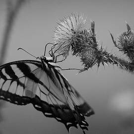 Todd Hostetter - Swallowtail Black and White