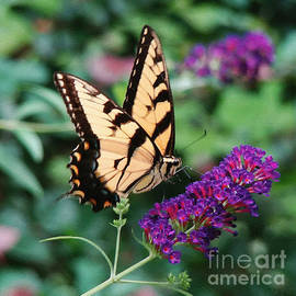 Sue Melvin - Swallowtail Butterfly 1