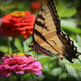 Dora Sofia Caputo Photographic Design and Fine Art - Swallowtail Butterfly and Colorful Zinnias