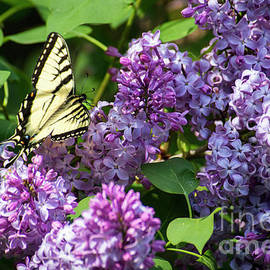 Alana Ranney - Swallowtail Butterfly and Lilac