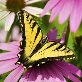Swallowtail Butterfly by Christina Rollo