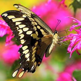 Swallowtail Butterfly Garden by Christina Rollo