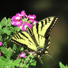 Swallowtail in the Garden - Visions of Spring - Butterly and Flower - Nature Photography by Brooks Garten Hauschild