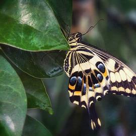Saija Lehtonen - Swallowtail On A Leaf