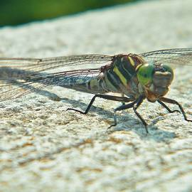 Swamp Darner Dragonfly   Indiana  Summer by Rory Cubel