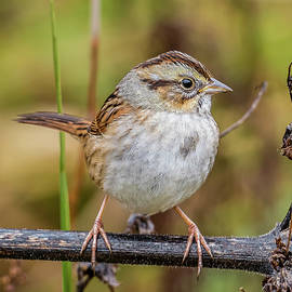 Swamp Sparrow by Morris Finkelstein