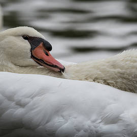 Swan -7823 by Steve Somerville