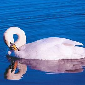 Swan On The Lake by John Hughes