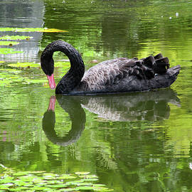 Swan Of Hearts by Pamela Walton