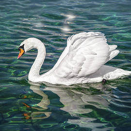 Swan on Lake Geneva Switzerland  - Carol Japp