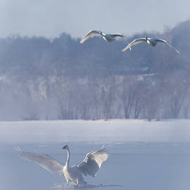 Two Swans Landing by Patti Deters