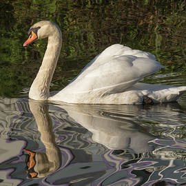 Bruce Frye - Swan with Reflections