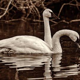 Swans - Thomas Ashcraft