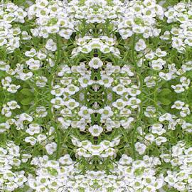 Linda Phelps - Sweet Alyssum Abstract