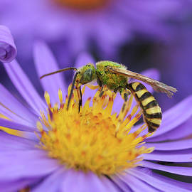 Sweet Bee by James Peterson