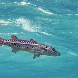 Swimming Barracuda