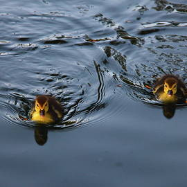 Swimming Ducklings by Denise Mazzocco