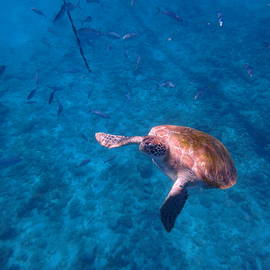 Swimming Sea Turtle by Kimberly Perry
