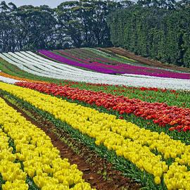 Tony Crehan - Table Cape Tulip Farm Field 2015, Tasmania, Australia