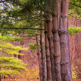 Sharon McConnell - Tall Pines Standing Guard