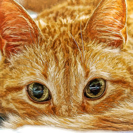 Tang The Orange Tabby DWC by Kevin Anderson