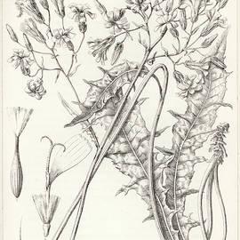 Taper Tip Hawksbeard, Crepis Acuminate by Antoine Sonrel