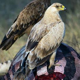Tawney eagles, Aquila rapax, feeding, Tarangire National Park, Tanzania - Panoramic Images