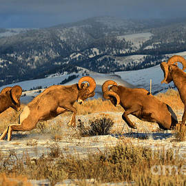 Teton Bighorn Brawlers Crop 2 by Adam Jewell