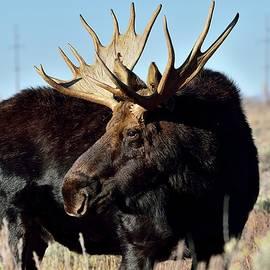 Michael Morse - Teton Bull Moose