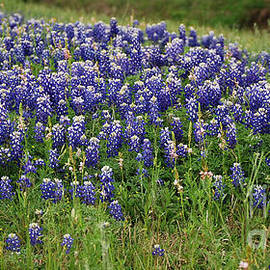 Texas Bluebonnets 2  by Ruth Housley