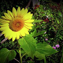 Aimee L Maher Photography and Art Visit ALMGallerydotcom - Texture Drama Garden Sunflower
