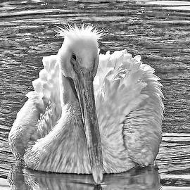 HH Photography of Florida - The American White Pelican