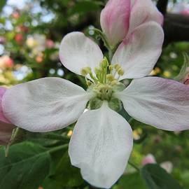 Vesna Martinjak - The Apple Blossom