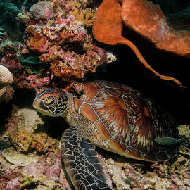 The Beautiful Shell of The Green Turtle